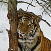 Tiger 3 Poster by Ernie Echols