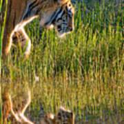 Tiger Tiger Burning Bright Poster by Melody Watson