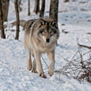 Timber Wolf In Snow Poster by Michael Cummings
