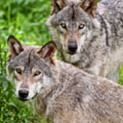 Timber Wolf Pair Poster by Michael Cummings