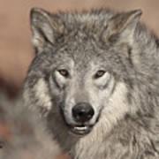Timber Wolf Portrait Poster by Sandra Bronstein