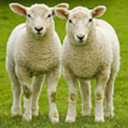 Twin Lambs Poster by Meirion Matthias