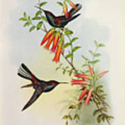 Urochroa Bougieri Poster by John Gould