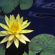 Water Lilly - 1 Poster by Randy Muir