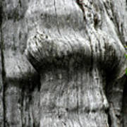 Western Red Cedar - Thuja Plicata - Olympic National Park Wa Poster by Christine Till