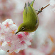 White-eye And Cherry Blossoms Poster by I love Photo and Apple.