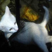 White Kitten Poster by David Lee Thompson