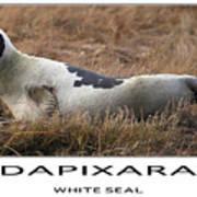 White Seal  Poster by Dapixara Art