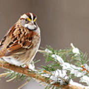 White Throated Sparrow Poster by Alan Lenk