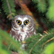 Wild Northern Saw-whet Owl Poster by Mlorenzphotography