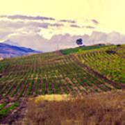 Wine Vineyard In Sicily Poster by Madeline Ellis