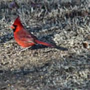 Winter Redbird Poster by Douglas Barnett
