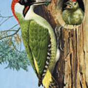 Woodpecker Poster by RB Davis