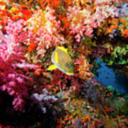 Yellow Banded Sweetlip Fish And Coral Poster by Beverly Factor