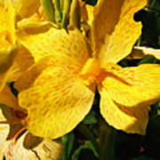 Yellow Canna Lily Poster by Shawna  Rowe