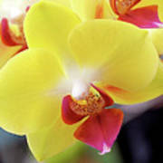 Yellow Phalaenopsis Orchids Poster by Rona Black