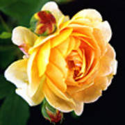 Yellow Rose Poster by Paul  Trunk