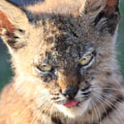 Young Bobcat 04 Poster by Wingsdomain Art and Photography