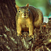 Fox Squirrel Print by Robert Bales