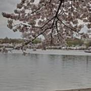 Cherry Blossoms - Washington Dc - 011336 Print by DC Photographer