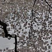 Cherry Blossoms - Washington Dc - 011342 Print by DC Photographer