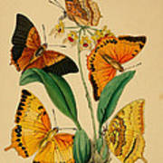 Chinese Butterflies 1847 Print by Philip Ralley