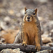 Eastern Fox Squirrel Print by Brandon Alms