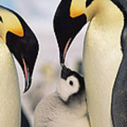 Emperor Penguin Parents With Chick Print by Konrad Wothe