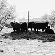 feed and fresh grass laid out for cows on winter farmland Forget Saskatchewan Canada Print by Joe Fox