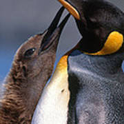 King Penguin With Chick Print by Art Wolfe