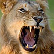Lion Print by Johan Swanepoel