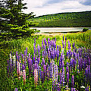 Lupin Flowers In Newfoundland Print by Elena Elisseeva