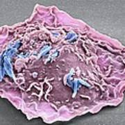 Macrophage Engulfing Tb Bacteria, Sem Print by Science Photo Library