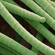 Microcoleus Cyanobacteria, Sem Print by Science Photo Library