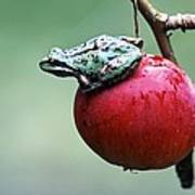 Pacific Tree Frog On A Crab Apple Print by David Nunuk