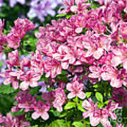 Pink And Blue Rhododendron Print by Frank Tschakert