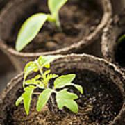 Seedlings  Print by Elena Elisseeva