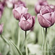 Tulip Garden Print by Frank Tschakert