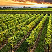 Vineyard At Sunset Print by Elena Elisseeva