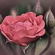 Vintage Rose No. 4 Print by Richard Cummings