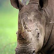White Rhinoceros Print by Johan Swanepoel
