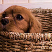 Cavalier King Charles Spaniel Puppy In Basket Print by Edward Fielding