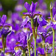 Irises Print by Elena Elisseeva