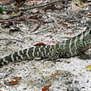 Lizard  Print by Joyce Woodhouse