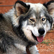 Miley The Husky With Blue And Brown Eyes  Print by Doc Braham