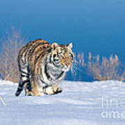 Siberian Tiger Print by Alan Carey