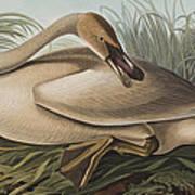 Trumpeter Swan Print by John James Audubon