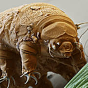 Water Bear Print by Eye of Science and Science Source