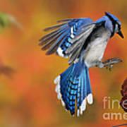 Blue Jay Print by Scott Linstead