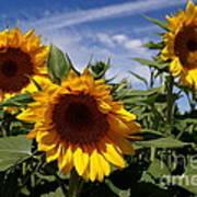 3 Sunflowers Print by Kerri Mortenson